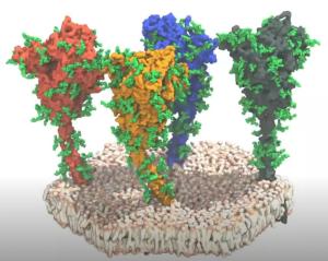 Model of the coronavirus spikes.