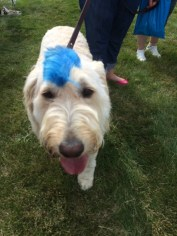 Blue doggy mohawk