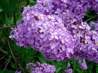 lilac-flower-2