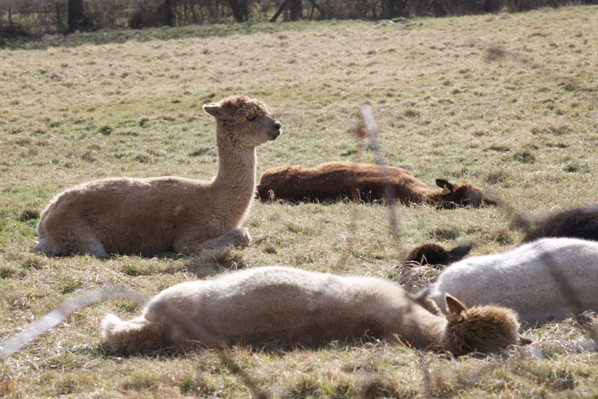 Group of alpacas in the sun
