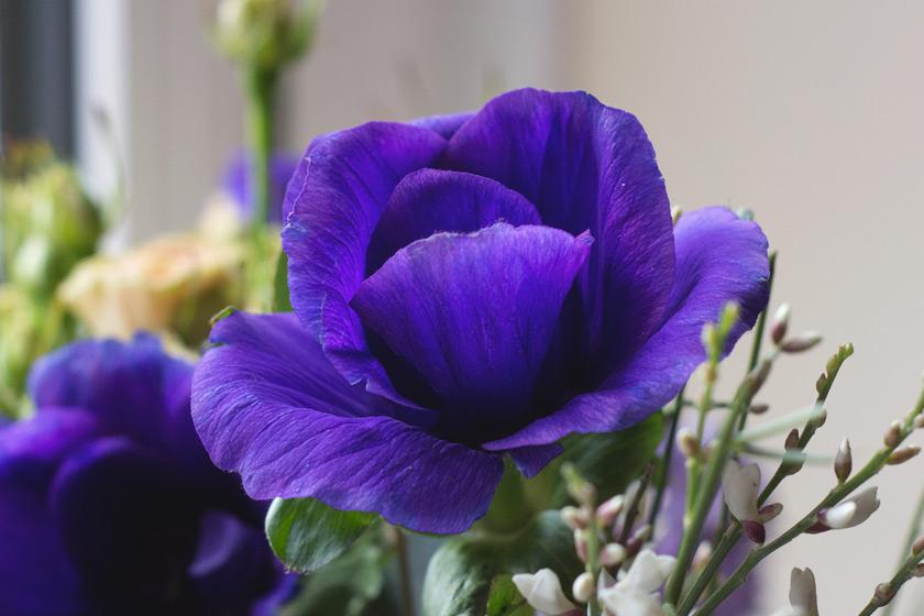 Anemone petals