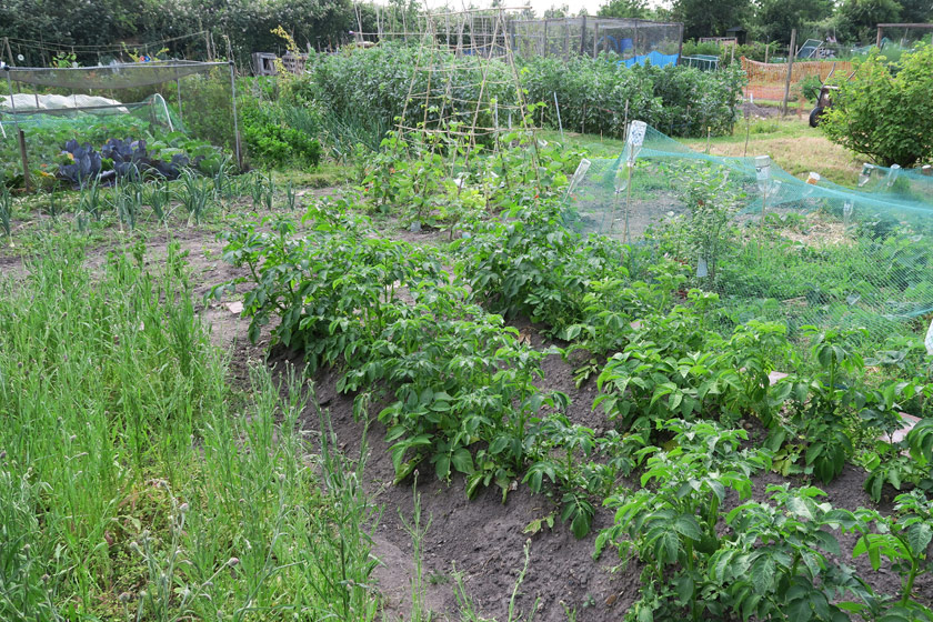 Allotment plot filled with green plants