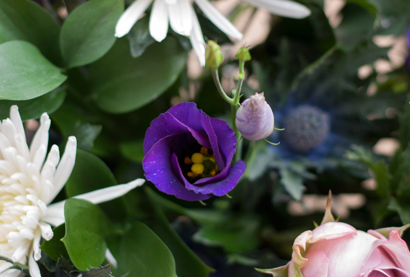 Purple eustoma