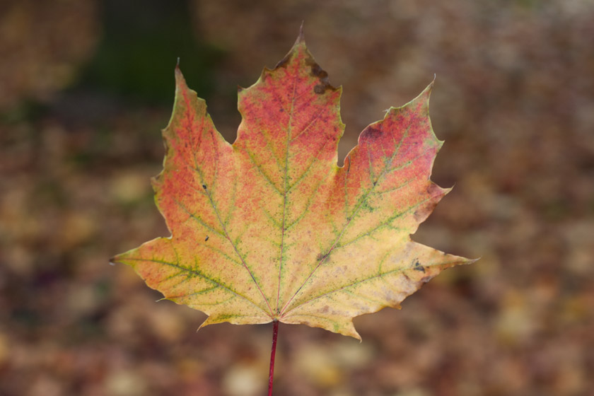 Red, yellow and green leaf