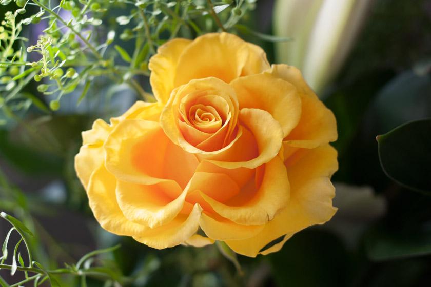 Closeup of yellow rose