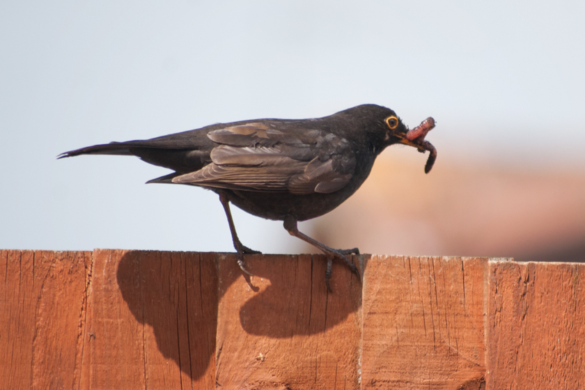 Blackbird with worms in mouth