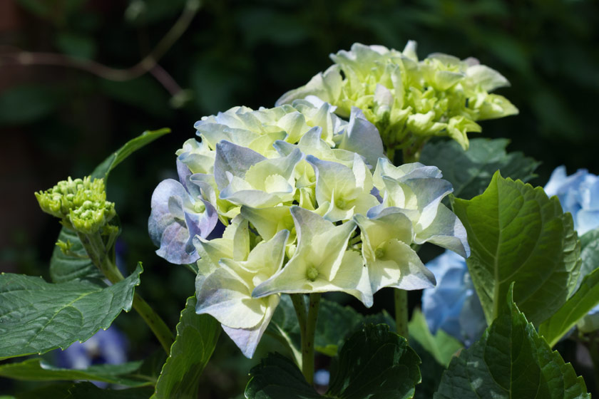Young hydrangea buds