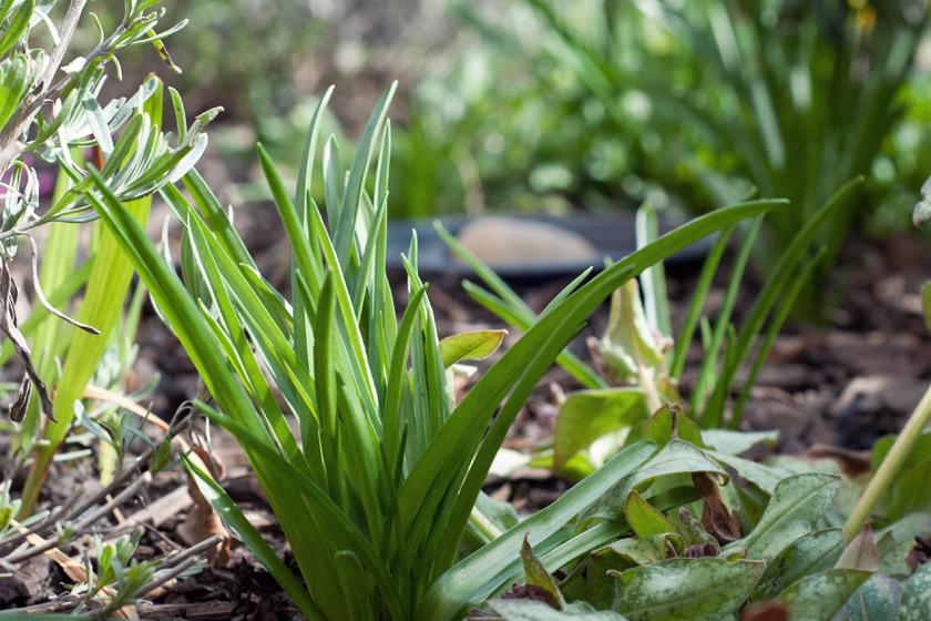 Green bluebell shoots