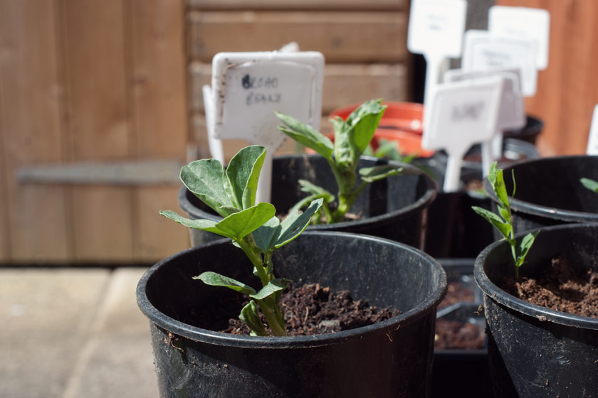 Young bean plant in pot