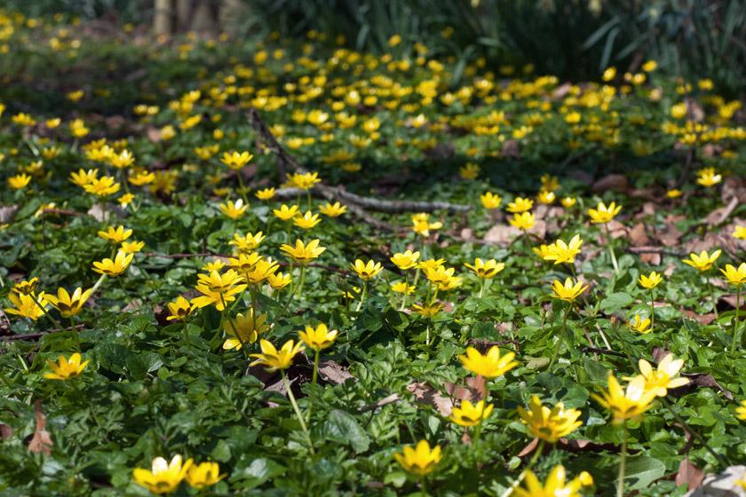 Carpet of yellow celandine flowers
