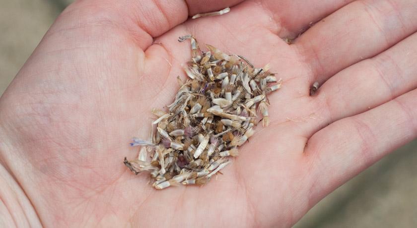 Cornflower seeds in hand