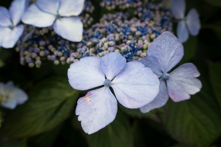 Closeup of hydrangea flowers