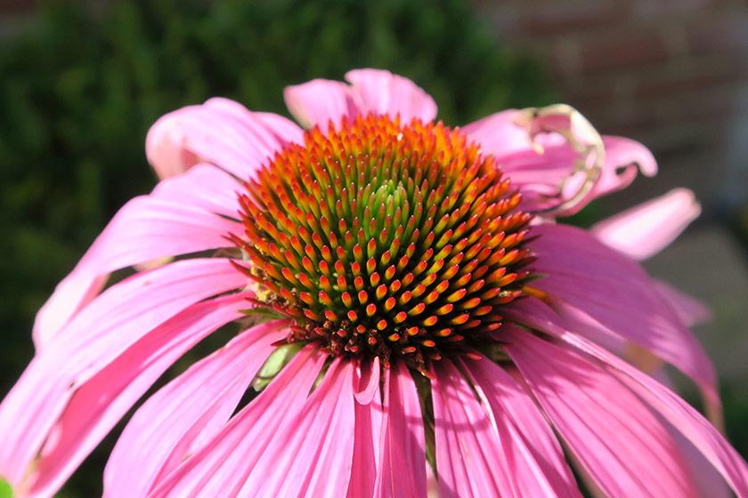 Closeup of echinacea
