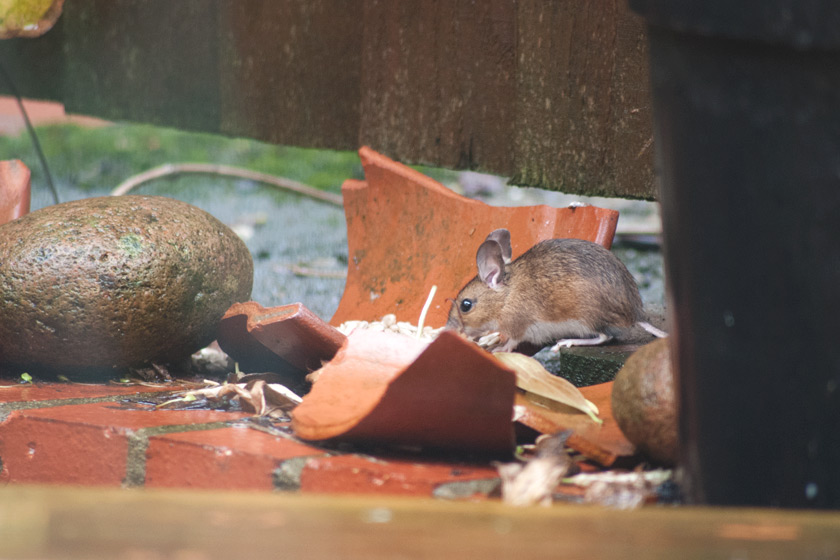 Field mouse eating seed