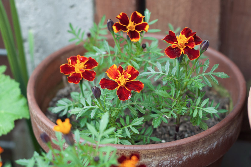 Red and orange marigolds