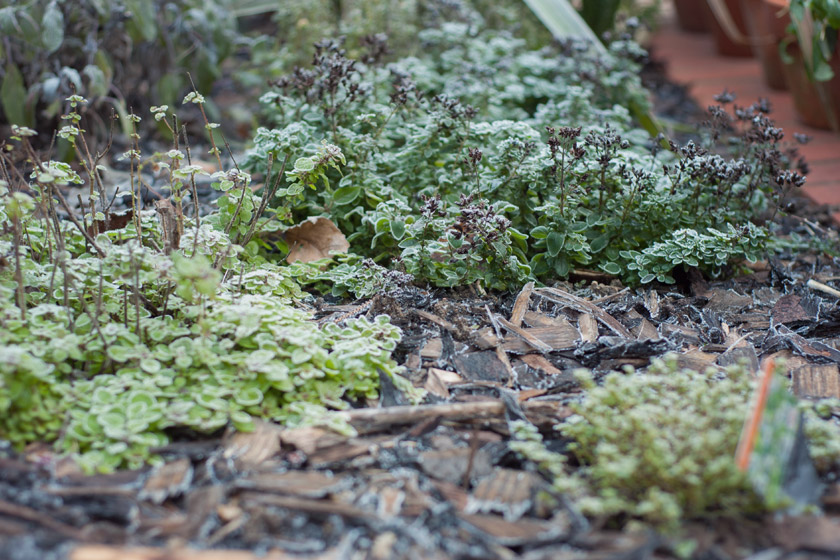 Herbs covered in frost