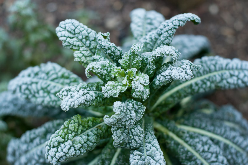 Kale plant covered in thick frost