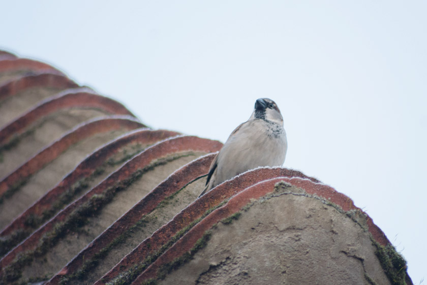 House sparrow on frosty roof