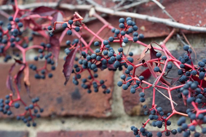 Black berries on wall
