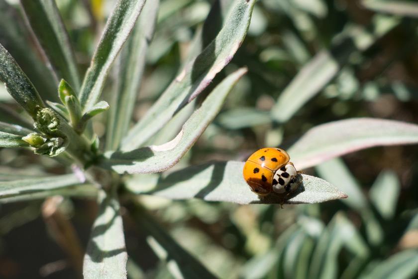 Orange and white ladybird
