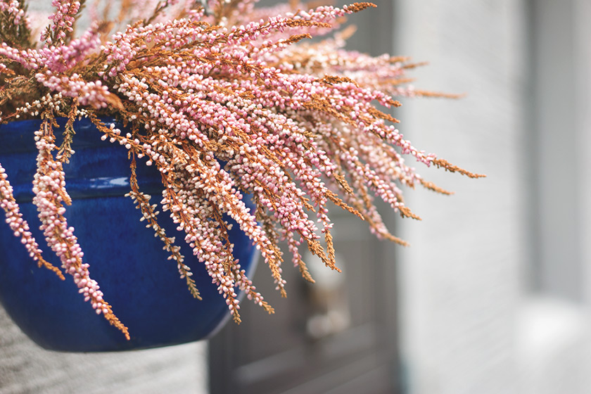 Pink heather in blue pot