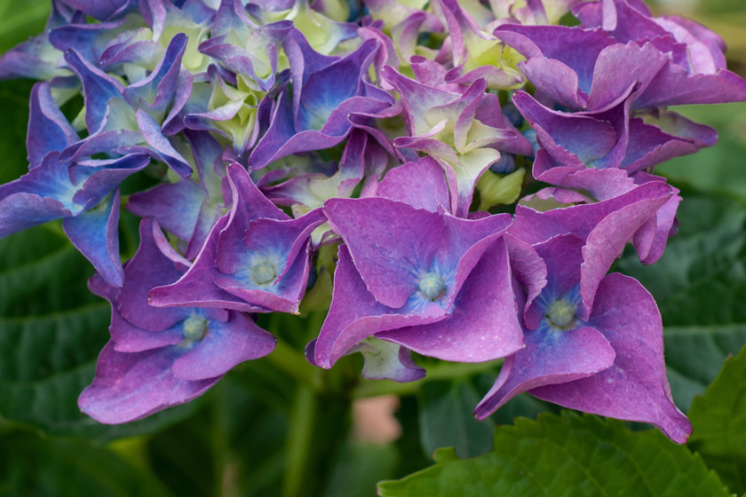 Colourful hydrangea flowers