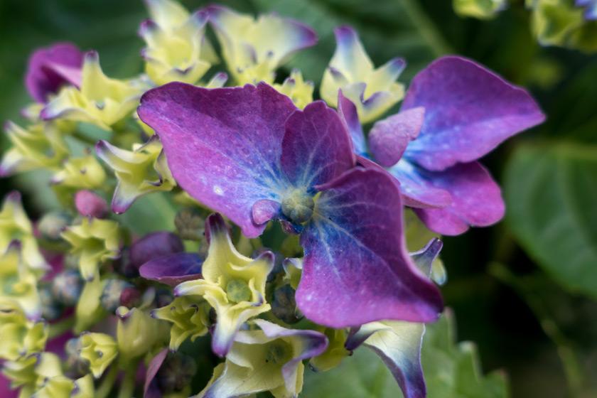 Closeup of hydrangea flower
