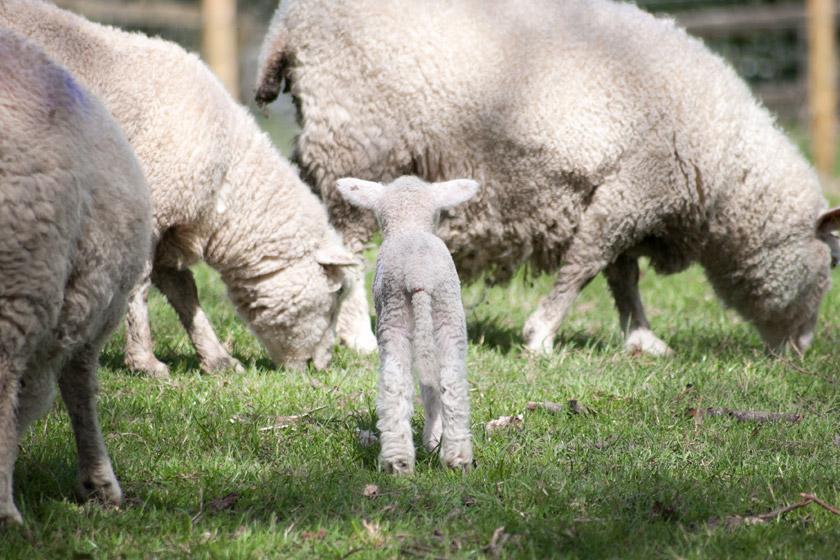 Lamb facing sheep