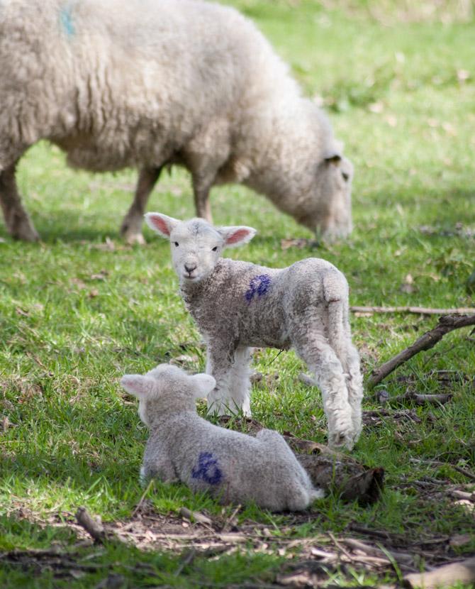 Lamb facing camera