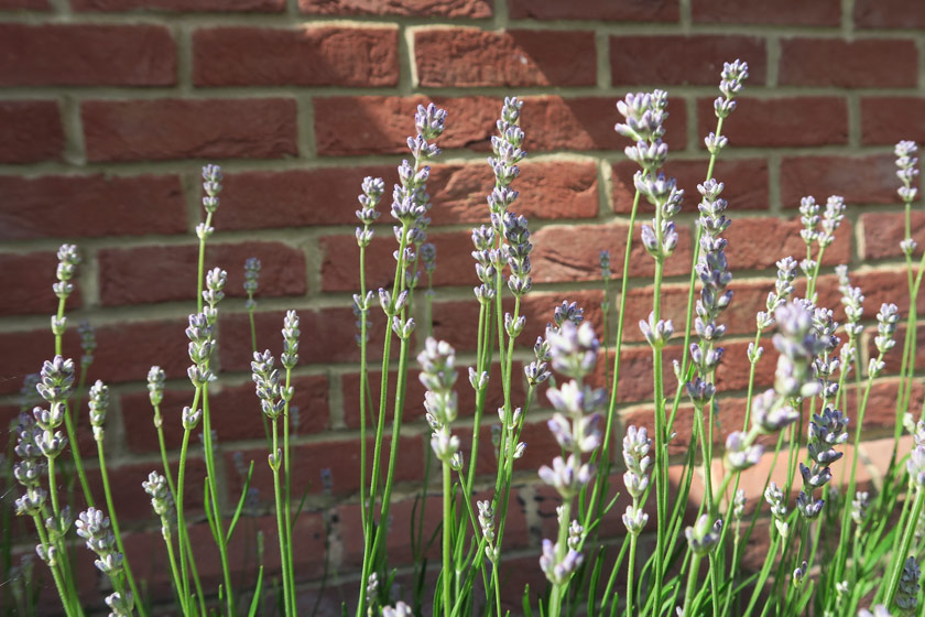 Lavender buds in the sun