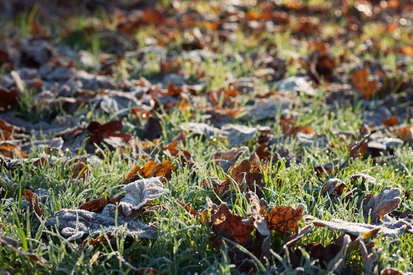 Frosty leaves on sunny grass