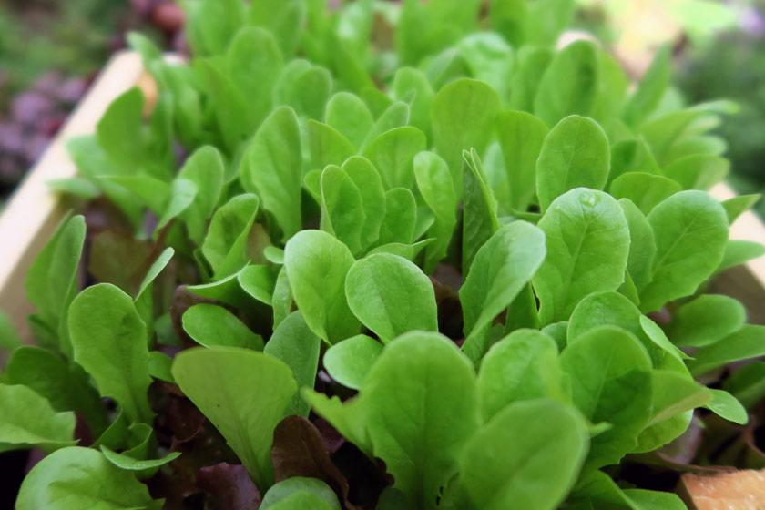 Bright green salad leaves