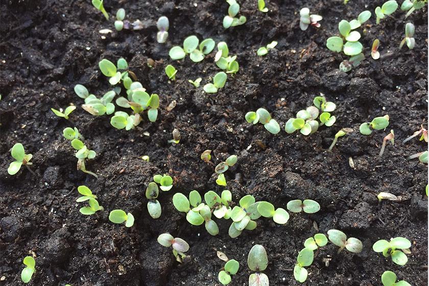 Tiny green seedlings