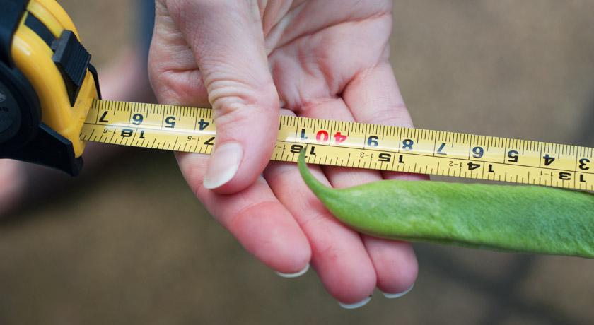 """16"""" runner bean on tape measure"""