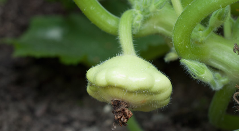 Round courgette on plant