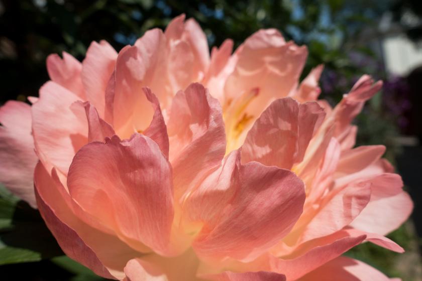 Peachy pink peony petals