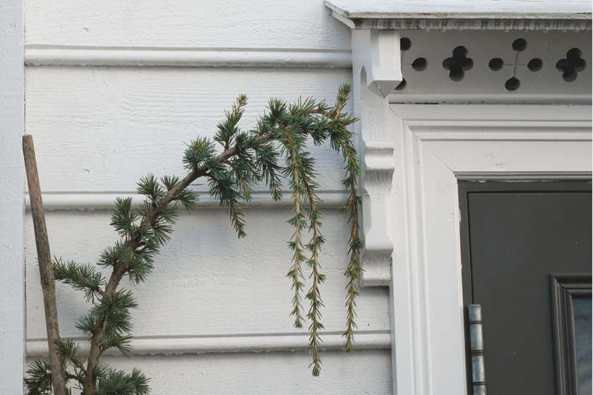 Pine growing on house