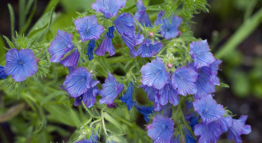 Purple weed flowers