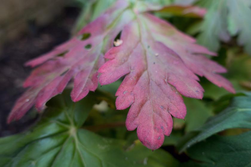 Red geranium leaf