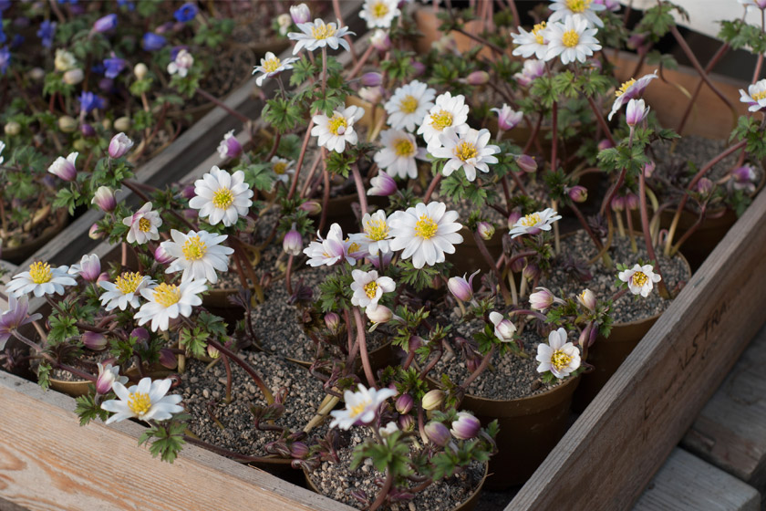 White flowers in wooden crate