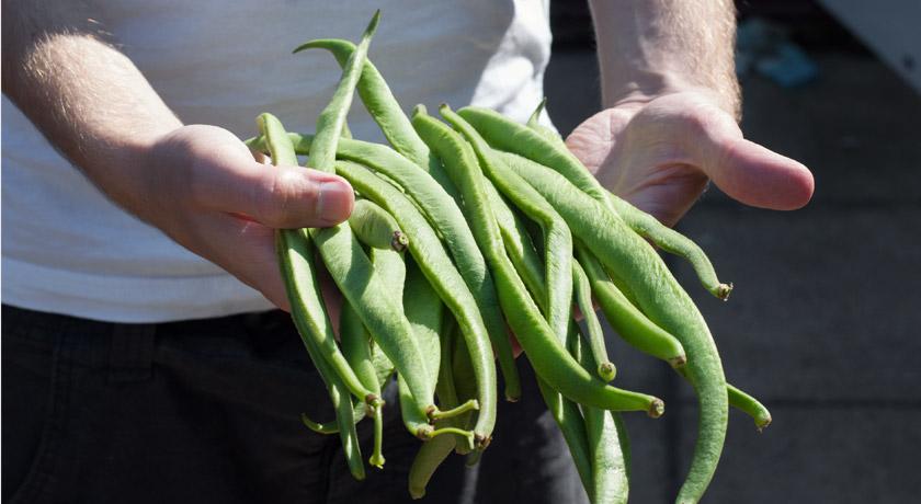 Hands holding runner beans
