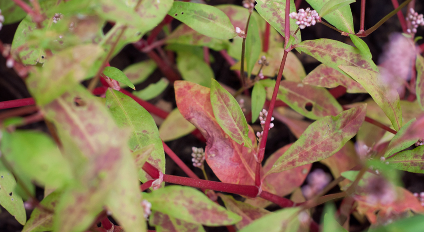 Red and green plant leaves