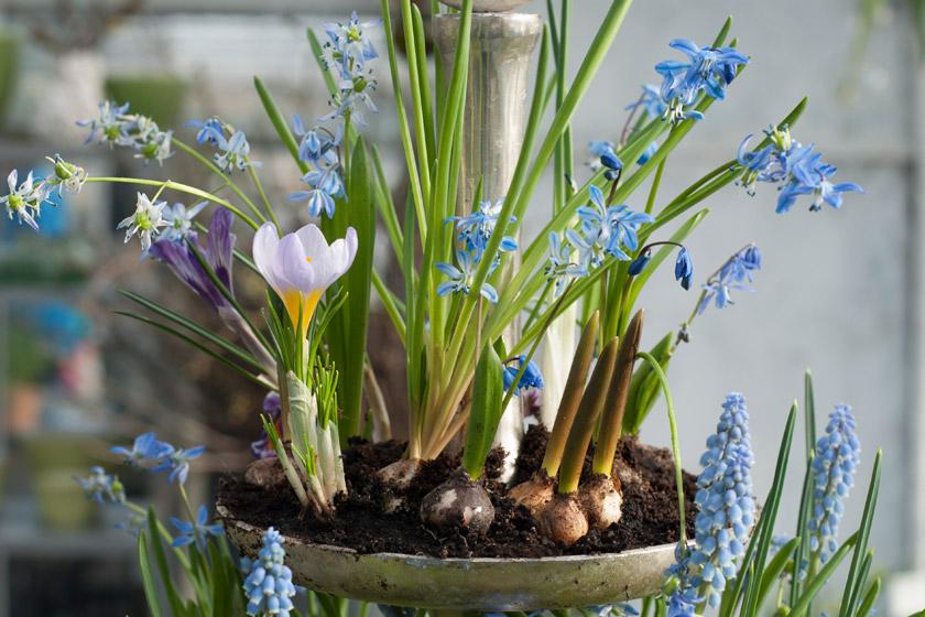 Crocus and grape hyacinths