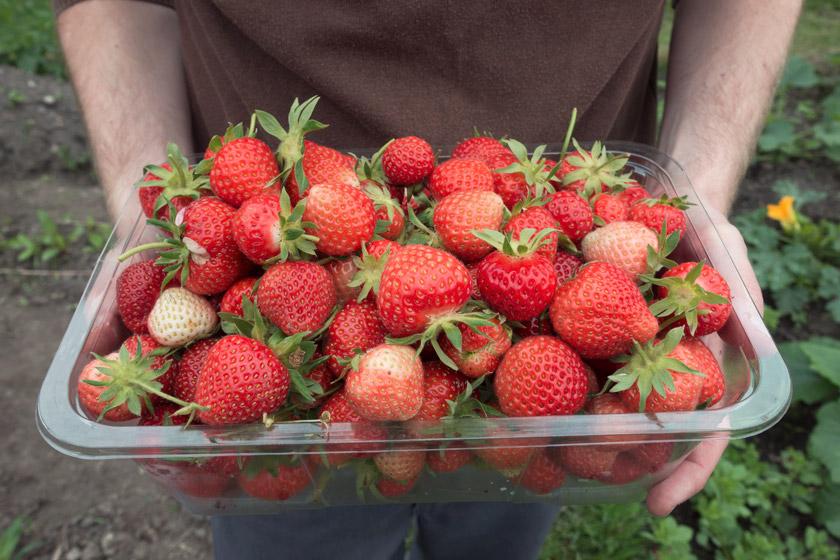 Homegrown strawberries