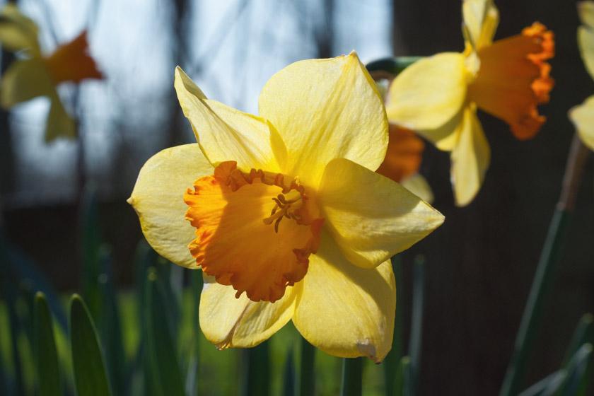 Sun behind daffodil petals