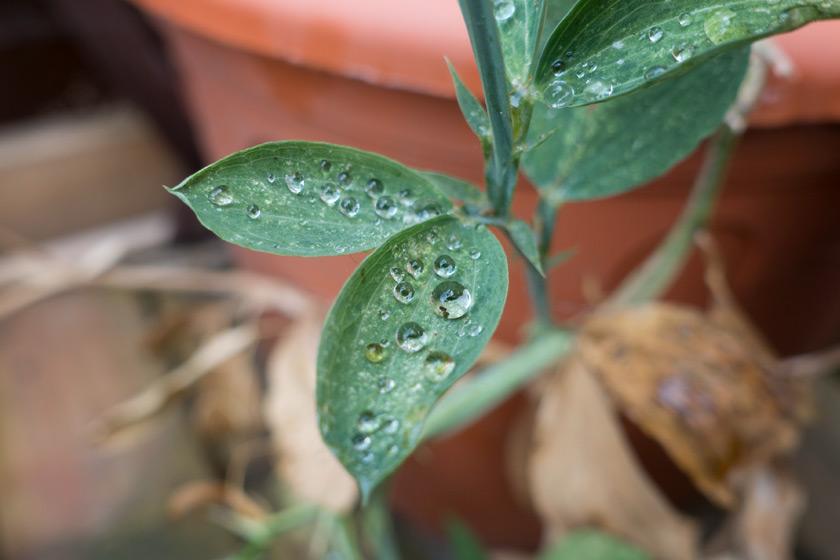 Water drops on sweet pea leaves