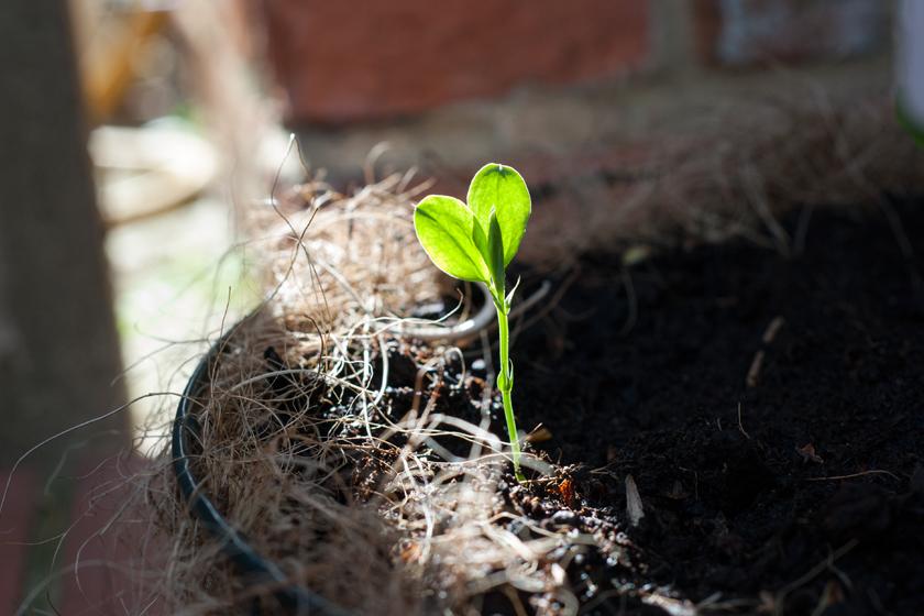 Sweet pea seedling in the sun