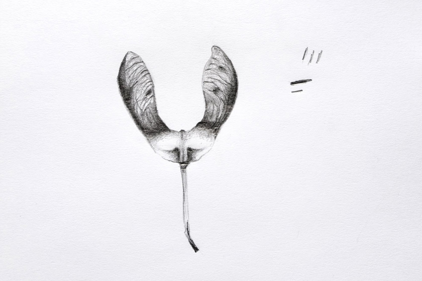 Sycamore pod drawing
