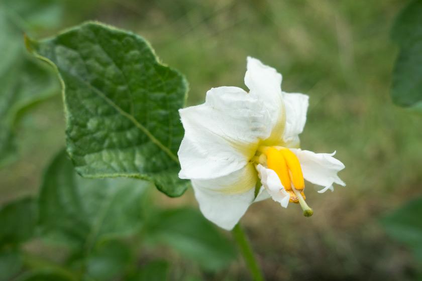White potato flower