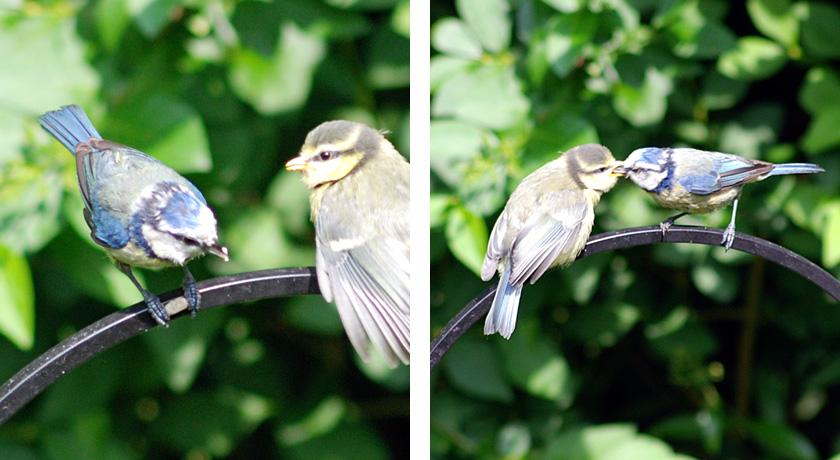 Blue tit feeding fledgling on bird feeder